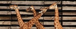 girafes_manuel_cohen_1440_550_0